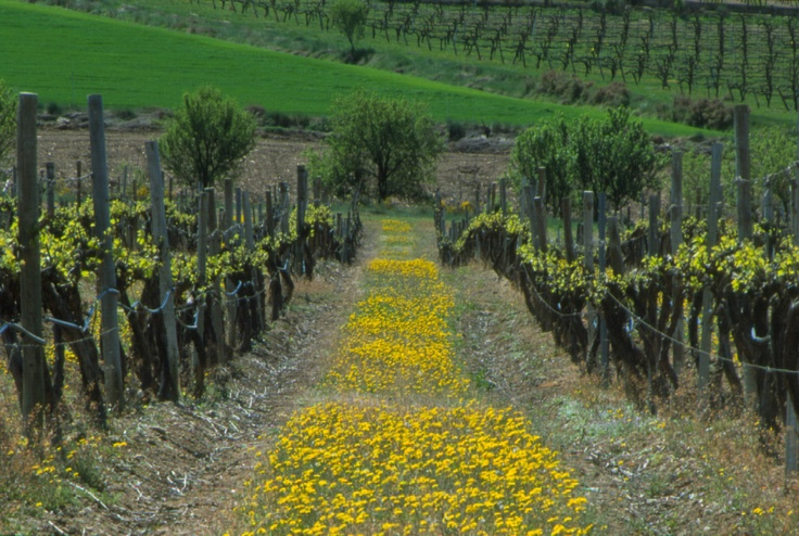 Primavera en Viñas del Vero. #Somontano. Bodegas. Vinos.    Síguenos en https://www.facebook.com/bodegavinasdelvero