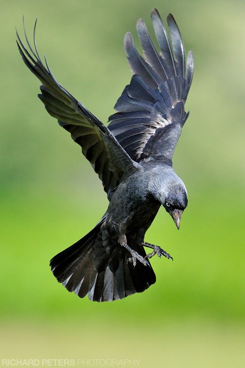 A Jackdaw in flight, caught just as it breaks from a hover to land.