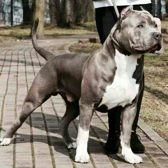 the Father of Karma #American #Bully #PitBull