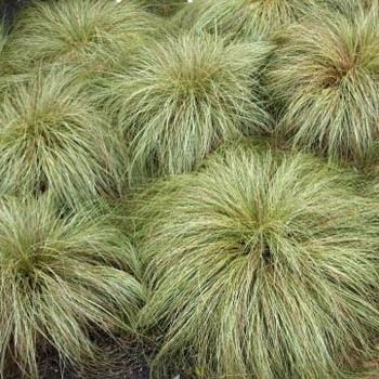 Carex (Carex comans Frosted Curls) - Commonly called New Zealand Hair Sedge, this little dwarf sedge only reaches 12 inches in height.
