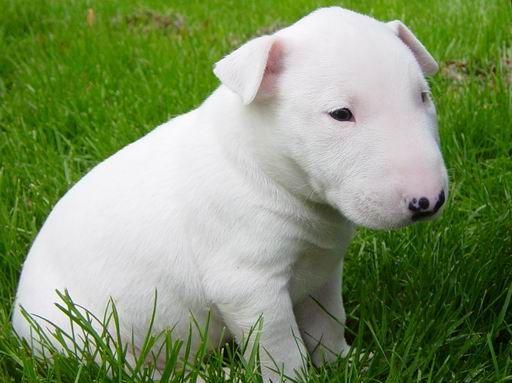 Bull Terrier - Cachorros para Comprar e Venda de Filhotes Cães