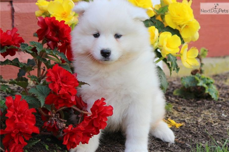 Cujo: Samoyed puppy for sale near Lancaster, Pennsylvania | 132484bd-2f21