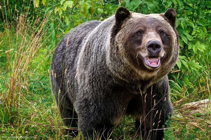 Boo the grizzly bear! He lives in Golden, BC, Canada.