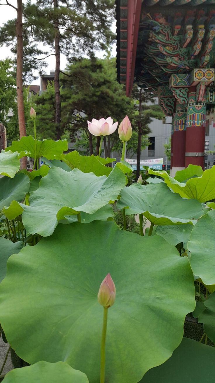 56 best lotus blossom images on pinterest lotus flowers lotus izmirmasajfo