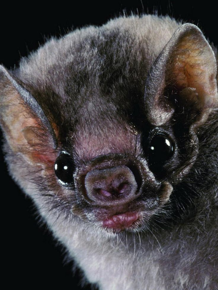 vampire bat, this one is pretty cute...usually they are pretty scary looking, but all the best thing are.