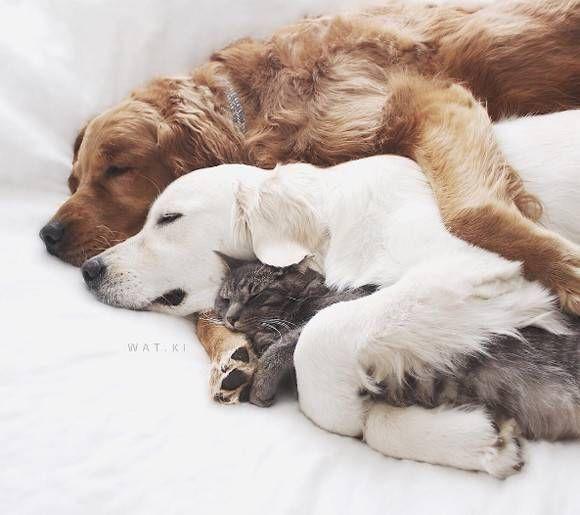 かわいさ摂取量越え。犬×猫×犬のサンドイッチ寝がかわいすぎるんじゃ! - グノシー