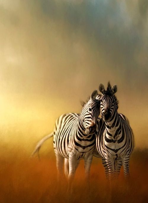 The question is, is the Zebra a white animal with black stripes, or a black…