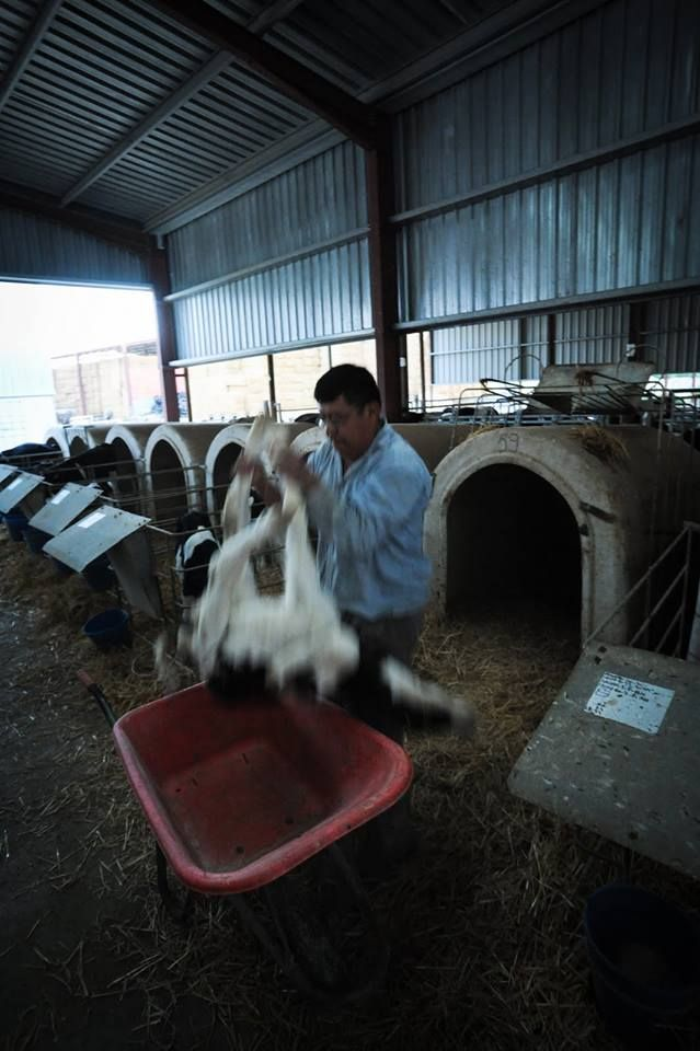 Veal Calf being transported as they are not supposed to use their legs and even if they tried they'd stumble and fall cause they're been chained up and fed crappy food cause we humans like our Veal light and tender....wtf