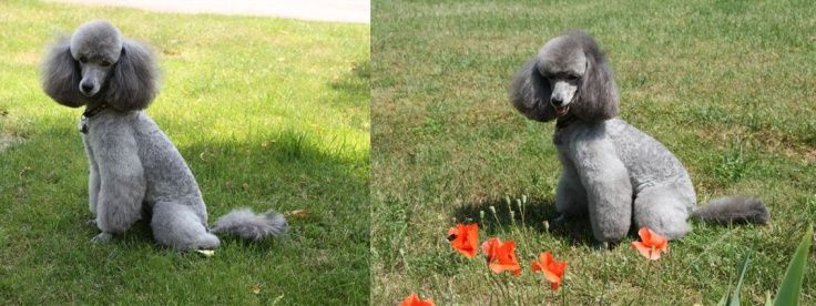 Caniche nain gris, Elevage Caniches Beautiful Grey of Marysa - Kennel silver poodles