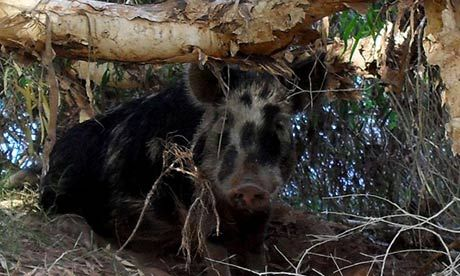 Campers told to lock up food and drink after feral pig goes on bender in Western Australia and ends up in altercation with cow