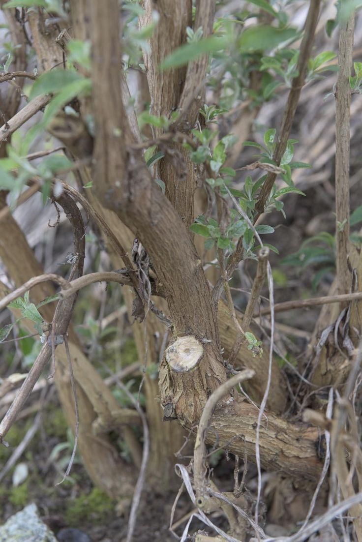 Der tiefe Schnitt bis auf den Astring verhindert, dass der Ast im Frühling wieder austreibt. Falls der konkurrierende Trieb zu stark für die Schere ist, entfernen Sie ihn mit einer handlichen Klappsäge