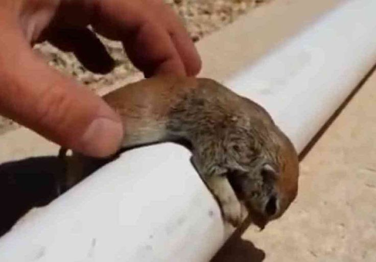 Pool Man Saves Ground Squirrel With CPR  ... see more at PetsLady.com ... The FUN site for Animal Lovers
