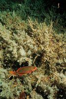Una creola en un crecimiento de algas pardas y corales blandos.