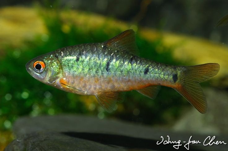37 best images about barbs on pinterest cherries neon for Gold barb fish