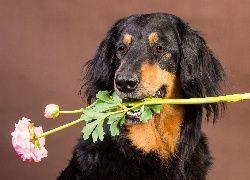 Pies, Hovawart, Kwiat