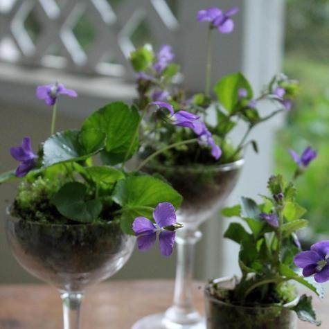 Violets in glasses
