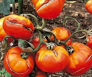 www.rustica.fr - Sécheresse, canicule, retour de vacances d'été : comment sauver plantes et légumes - Secourir le potager
