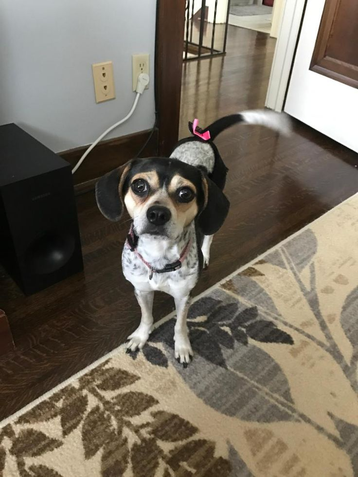 Meet Emily- Fostered in Omaha, NE, an adoptable Beagle looking for a forever home. If you're looking for a new pet to adopt or want information on how to get involved with adoptable pets, Petfinder.com is a great resource.