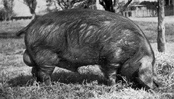 """THE LARGE BLACK PIG 