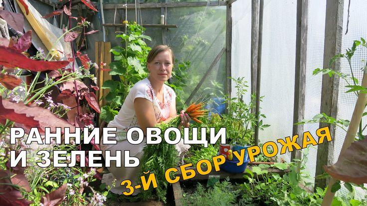 РАННИЕ овощи и зелень в теплице ☀ 4. Третий сбор урожая 28.06.
