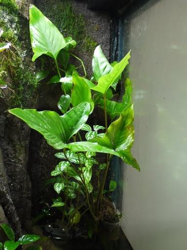 Love the leaves! Anubia hastifolia(??)