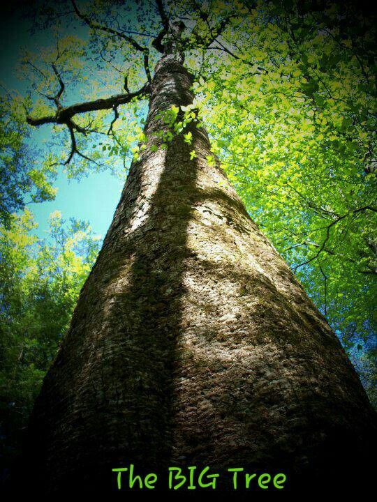 Giant Tulip Poplar-AKA The Big Tree in the William B ...