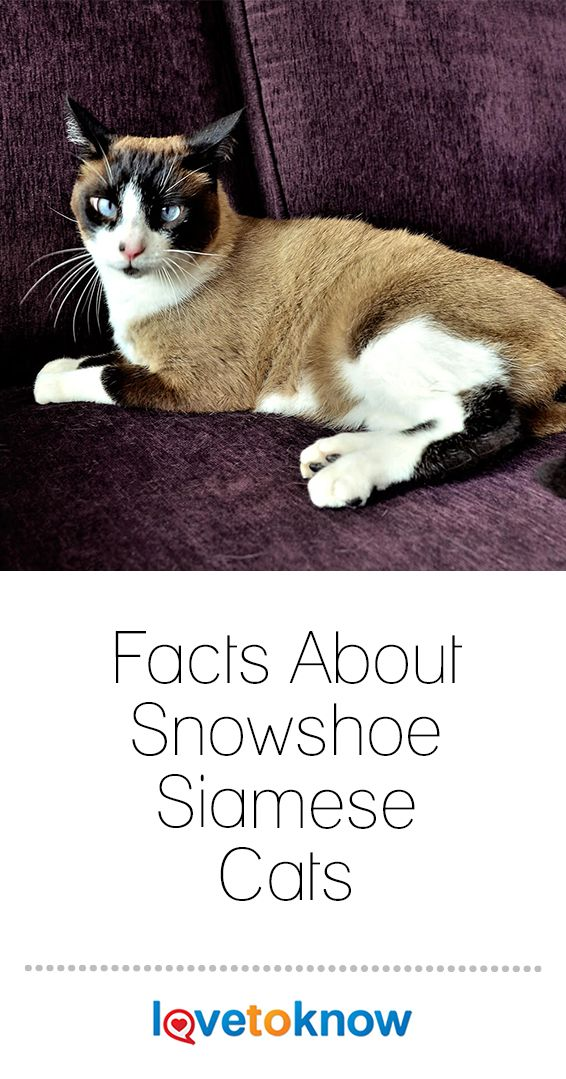Facts About Snowshoe Siamese Cats In 2020 Snowshoe Siamese Siamese Cats Cat Breeds Siamese
