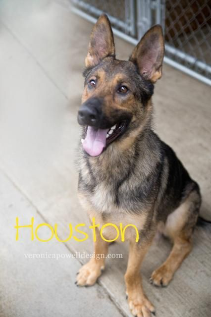 Meet Houston, an adoptable German Shepherd Dog looking for a forever home. If you're looking for a new pet to adopt or want information on how to get involved with adoptable pets, Petfinder.com is a great resource.