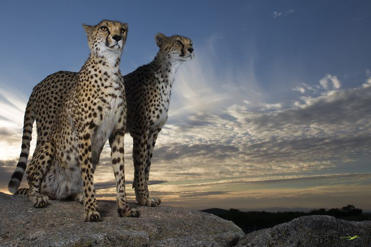 Photograph Cheetahs Paradise by Carlos Santero on 500px
