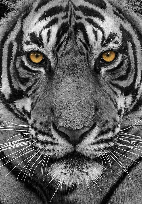 Tyger, burning bright,In the forests of the night;What immortal hand or eye,Could frame thy fearful symmetry?