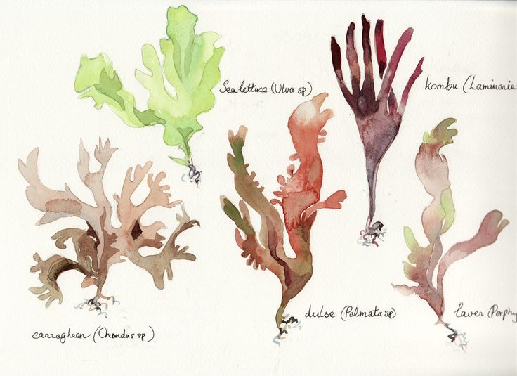 Edible seaweeds from UK shores