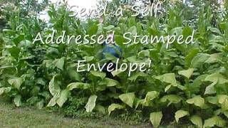 The Homestead Survival   Organic Virginia Gold Tobacco Seeds! Raise Your Own Tobacco! I Will Show You How!   http://thehomesteadsurvival.com