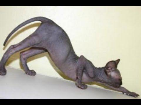 Сумасшедшие кошки сфинксы