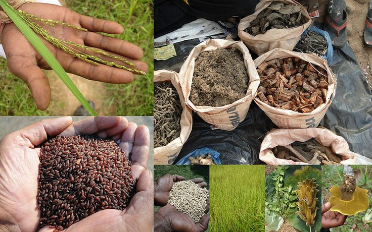 Medicinal Rice based Tribal Medicines for Diabetes Complications and Metabolic Disorders (TH Group-765) from Pankaj Oudhia's Medicinal Plant Database. Encyclopedia of Tribal Medicines by Pankaj Oudhia. #TribalMedicines