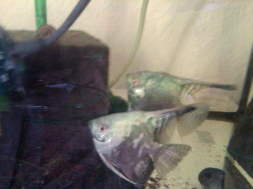 Phillipine Blue Smokey Adult Blaue Skalare auch Zuchtpaare in Nordrhein-Westfalen - Bergisch Gladbach   Barsche günstig kaufen   eBay Kleinanzeigen