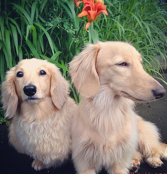 ❤ Blond long hair doxies