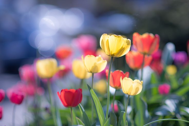 Tulip gallery by Raymond  on 500px