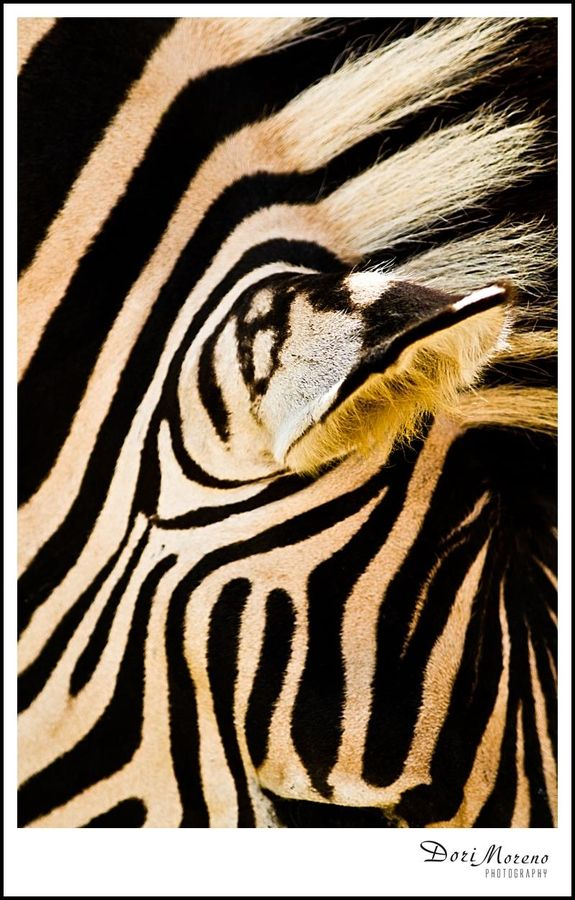 Incredible markings of a zebra