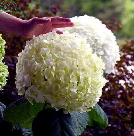 Семена цветов, гортензия разнообразие цветов семена садовые растения бонсай Форт Калина 30 шт. r85 купить на AliExpress