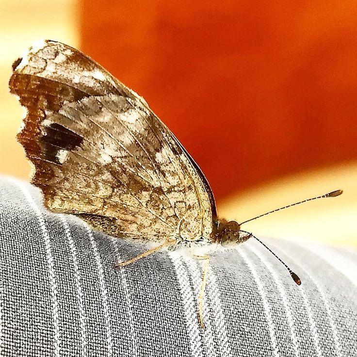 Motte Motte Schmetterling Schmetterling Motten Schmetterlinge Mu Naturephotography Nat Schmetterling Motte Insekten