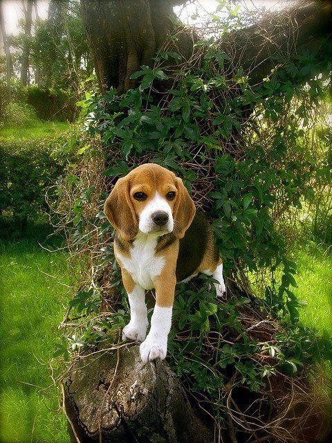 Just a sweet beagle puppy #beagles #pets http://www.nojigoji.com.au/