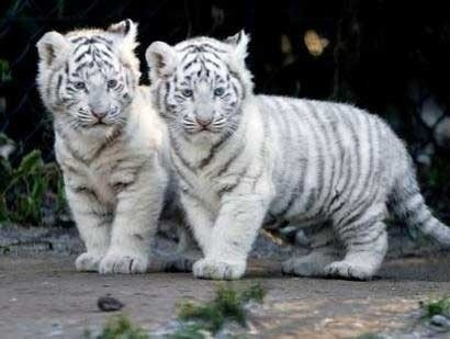 white tiger babies by Rebecca Lee Briggs