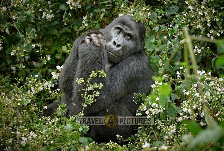 Gorillas are religious...?