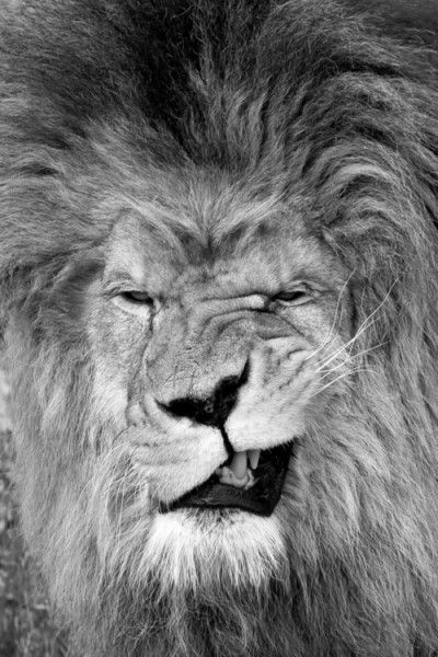 The expression on this male lion's face is absolutely hilarious! I wonder what he's thinking! Photographer: unknown