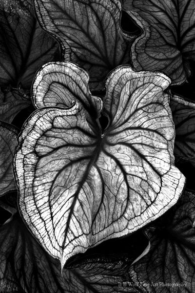 Caladium Plant with intricate vein patterns; monochrome nature; organic form inspiration