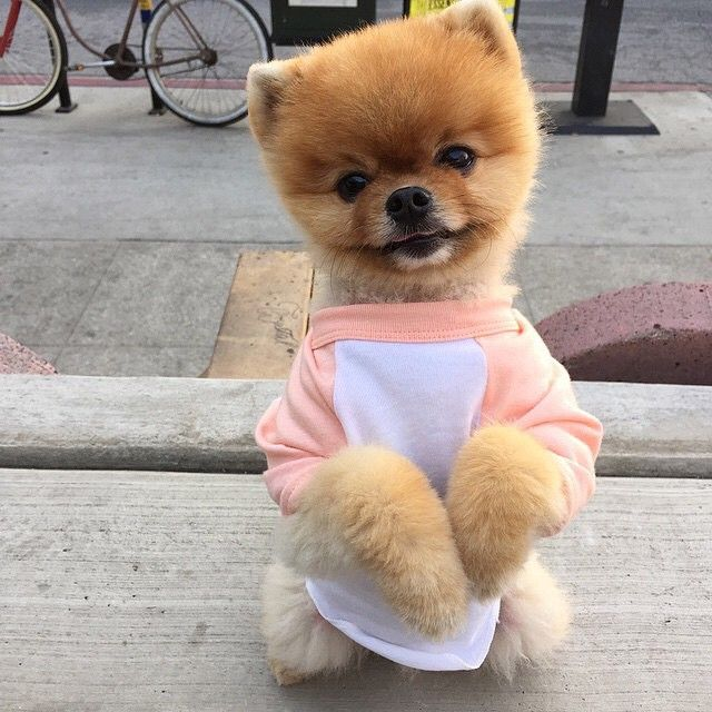 Best Jiffy Images On Pinterest Pomeranians Puppies And Baby - Jiff the pomeranian is easily the best dressed model on instagram