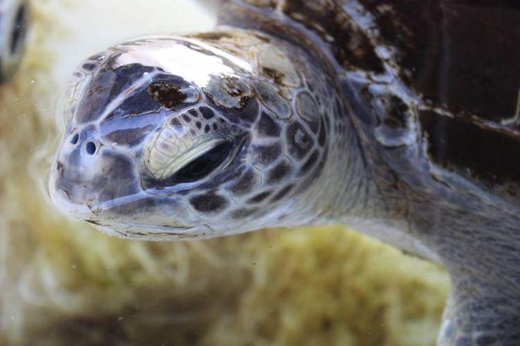 Bob the turtle's roller coaster rehabilitation – Blog – Two Oceans Aquarium Cape Town, South Africa   Exhibits   Conservation   Education   Events   Diving