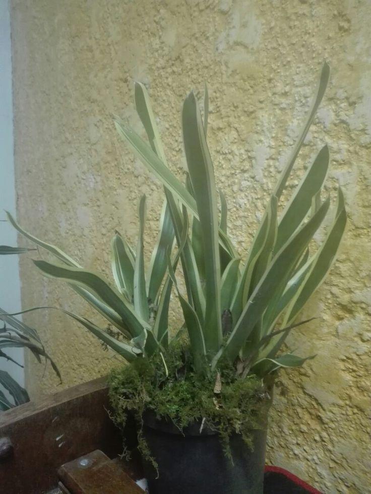 Las bromelias son plantas hermosas y perfectas para interiores, fáciles de cuidar ya que no requieren mucha agua. Las encuestas disponibles en el #ElRehilete a $15.000