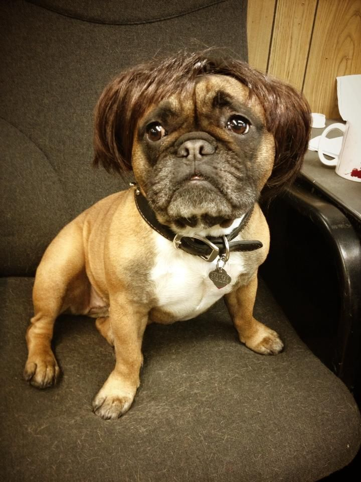 bulldog français habiller | French Bulldog Wears a Wig | My Disguises - We Love Costumes