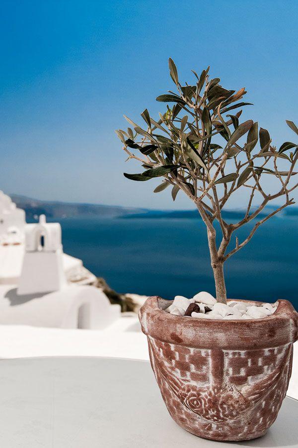 Potted olive tree, Santorini Greece